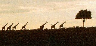 Giraffes cross the African plain.