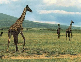 Giraffes amble across the plains of Tanzania.