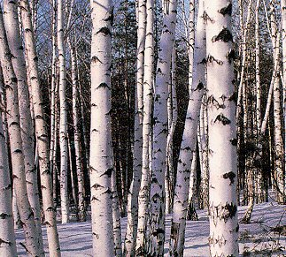 Siberia's famous forests.