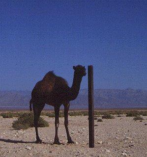 A camel in the Sinai desert.