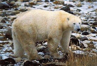 A polar bear in Manitoba.
