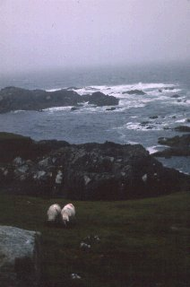 Sheep grazing in Ireland.