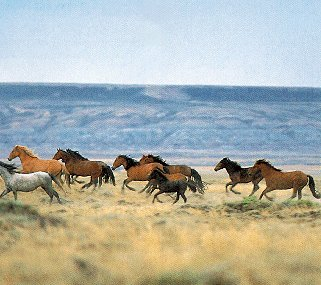 Wild horses gallop across Wyoming plain.