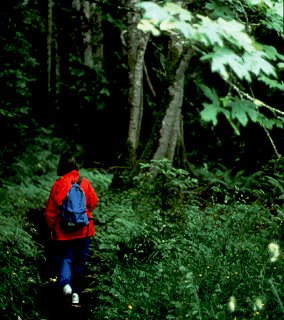 A hiker walks through the lush Olympic forest.