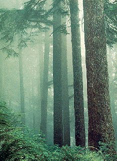 Old growth hemlock in Oregon's Cascade Mountains.