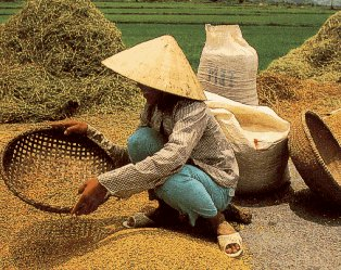 Winnowing rice in Vietnam.