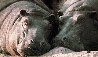 Dozing hippos.