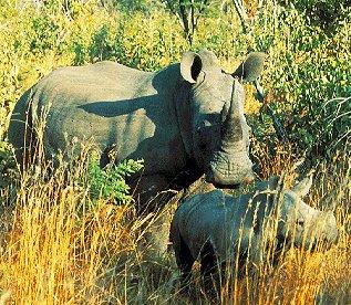 Rare white rhinos on the grasslands of Africa.