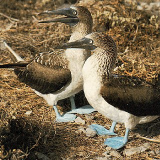 A pair of blue-footed boobies.