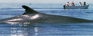 See whales surface in the Sea of Cortez.
