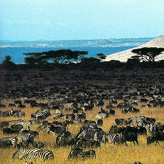 A field of zebras in Tanzania.