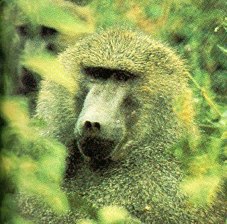 A baboon returns the camera's stare.