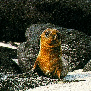 A sea lion pup in the Galapagos.