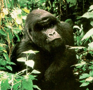 Come face to face with a gorilla.