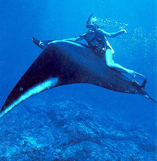 Riding a giant manta ray.