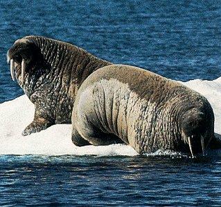 Walrus in Hudson Bay.