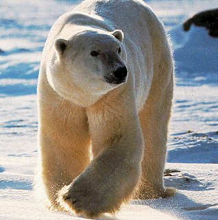 The powerful polar bear.