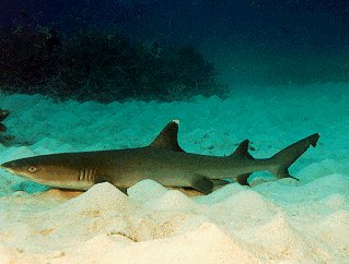 A lounging white-tipped reef shark.