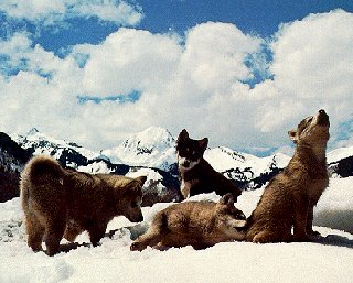 Krabloonik pups with mountains behind them.
