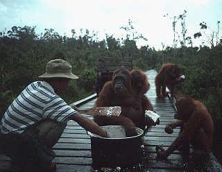 Orangutans gather for lunch.