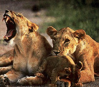 A family of lions in Kenya Africa